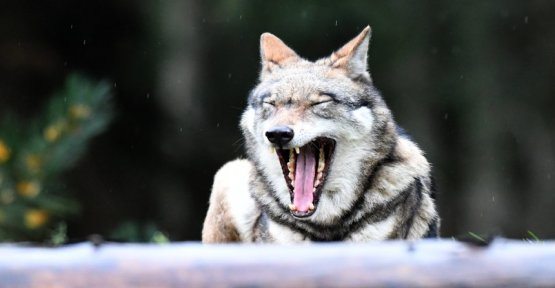 Animal bite of Steinfeld: man was not attacked by Wolf