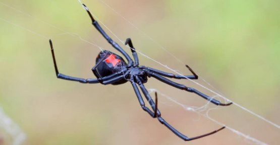 Canada: man (50) was bitten by a Black widow - the Doctors send him back home