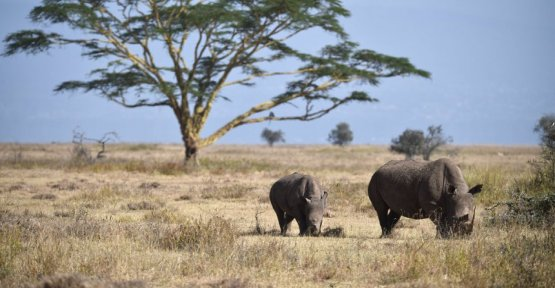 Chad: Four rhinos die according to resettlement action