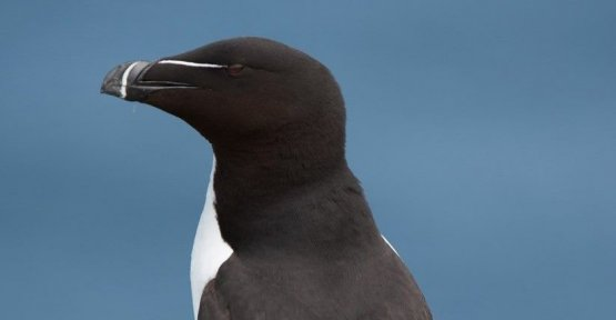 Razorbills: How do seabirds, marine researchers help