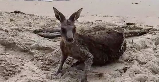Successfully revived: Australian police rescue kangaroo from Surf