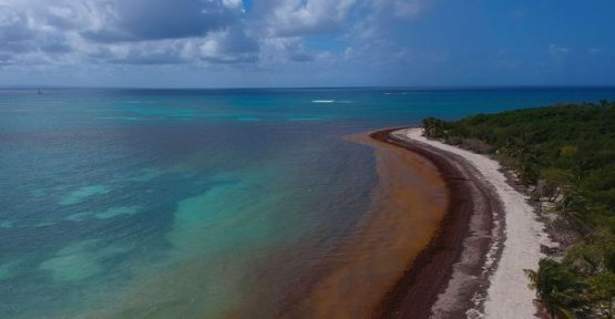 The sargasso sea, these algae, which asphyxiate the west Indies