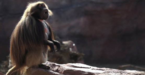 Transplantation: baboon lives more than a year and a half with a pig's heart