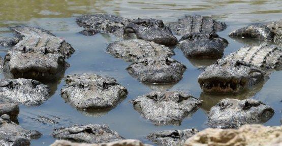 short & badass: man breaks into an alligator Farm and bathe with crocodiles